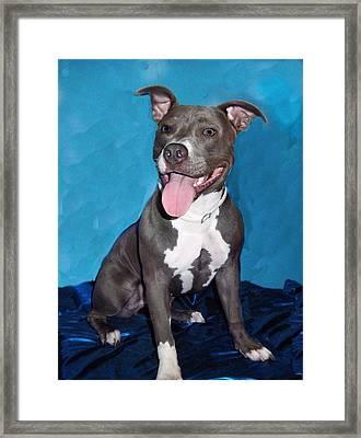 Pit Bull Framed Print by Rosalie Klidies