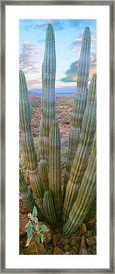 Pitaya Cactus Plant In Desert, Mulege Framed Print