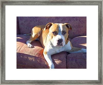 Pitbull On A Couch Framed Print by Ritmo Boxer Designs