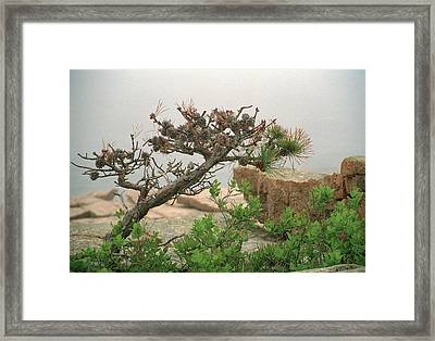 Pitch Pine Framed Print by Jim Cook