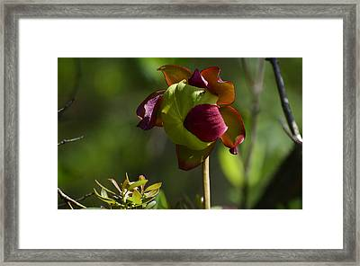 Pitcher Plant Flower 1 Framed Print