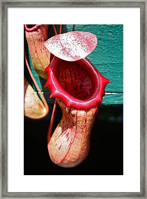 Pitcher Plant Nepenthes Framed Print