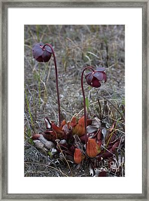 Pitcher Plant Rising Up Framed Print