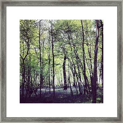 Pittswood Bluebells  Framed Print