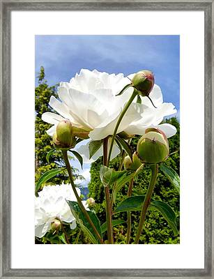 Pivoines Blanches Framed Print