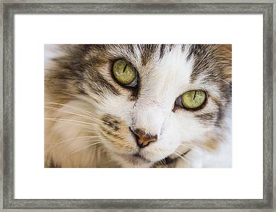 Framed Print featuring the photograph Pixie-bob 1 by Leigh Anne Meeks