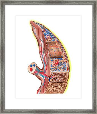Placenta Framed Print by Asklepios Medical Atlas