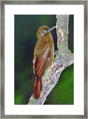 Plain-brown Woodcreeper Framed Print