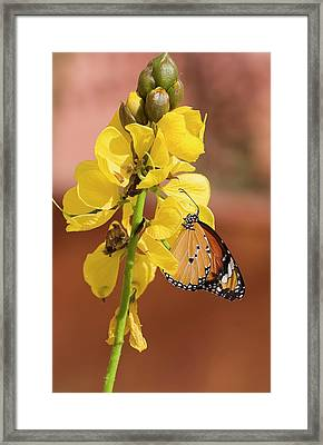 Plain Tiger Butterfly Framed Print by Photostock-israel