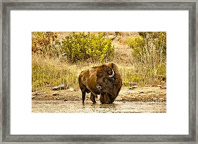 Plains Buffalo At Creekside Framed Print