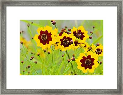 Plains Coreopsis Framed Print
