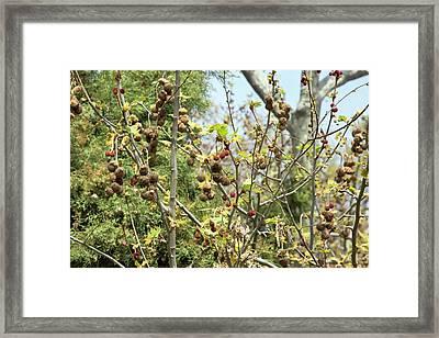 Plane (platanus Orientalis) Tree Framed Print by Bob Gibbons