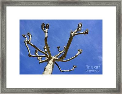 Plane Tree Framed Print by Bernard Jaubert