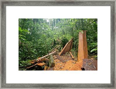 Planks Cut From Rainforest Tree Framed Print