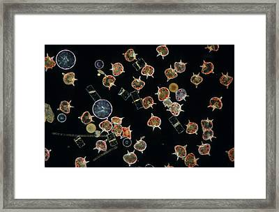 Plankton Dinoflagellates And Diatoms X20 Framed Print by D P Wilson