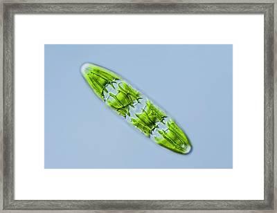 Planotaenium Sp. Green Alga Framed Print by Gerd Guenther