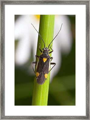 Plant Bug Framed Print by Science Photo Library