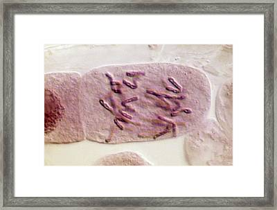Plant Cell Undergoing Mitosis Framed Print by Clouds Hill Imaging Ltd