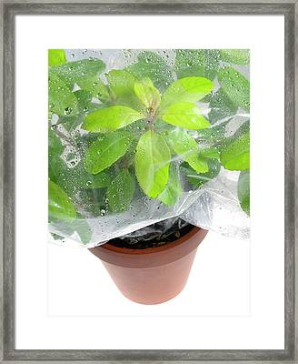 Plant Transpiration Framed Print by Cordelia Molloy