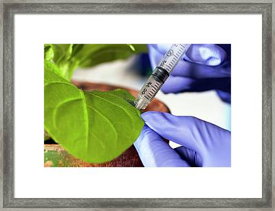 Plant Virus Research Framed Print by Peggy Greb/us Department Of Agriculture