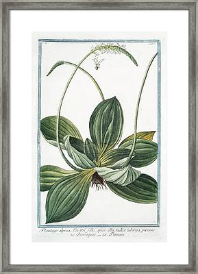 Plantago Alpina Framed Print by Rare Book Division/new York Public Library