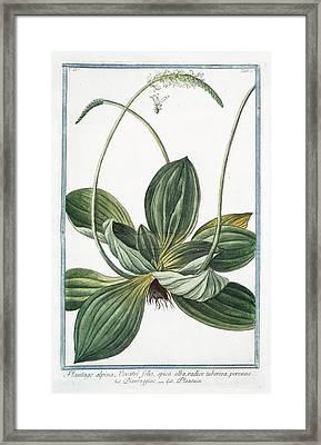 Plantago Alpina Framed Print