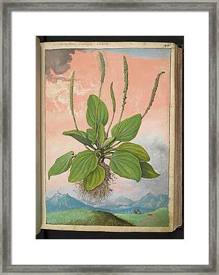 Plantain (plantago Major) Framed Print by British Library