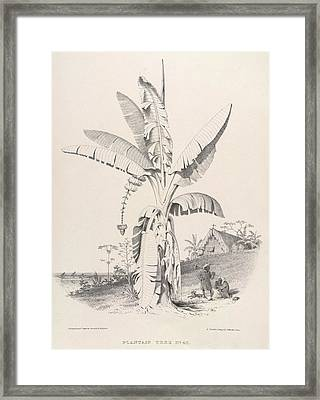 Plantain Tree Framed Print by British Library