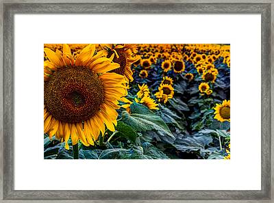 Planted Sunshine  Framed Print by William Huchton