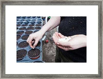 Planting Bean Seeds Framed Print