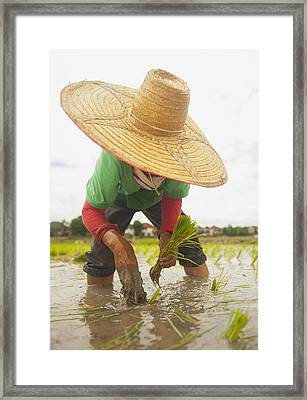 Planting New Ricechiang Mai Thailand Framed Print by Stuart Corlett