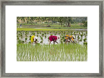 Planting Rice India Framed Print by Tim Gainey