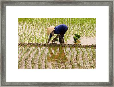 Planting Rice Framed Print
