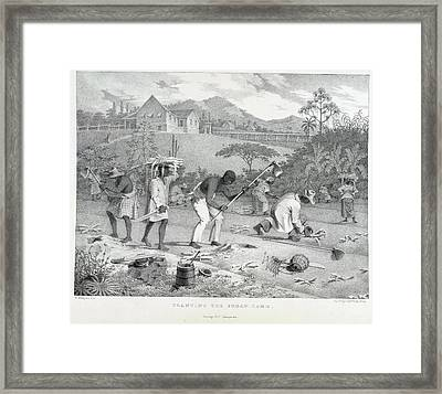 Planting The Sugar Cane Framed Print by British Library