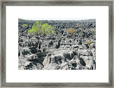 Plants Growing On Limestone Rocks Framed Print by Dr P. Marazzi