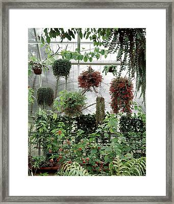 Plants Hanging In A Greenhouse Framed Print by Wiliam Grigsby