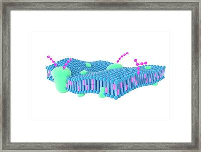 Plasma Membrane Framed Print by Science Photo Library