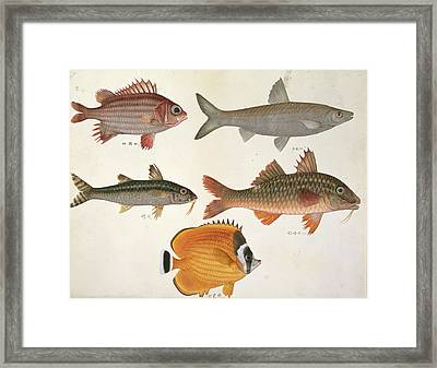 Plate 113: John Reeves Collection Framed Print by Natural History Museum, London