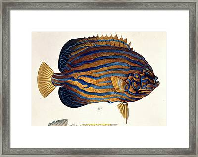 Plate 134 From The John Reeves Collection Framed Print by Natural History Museum, London
