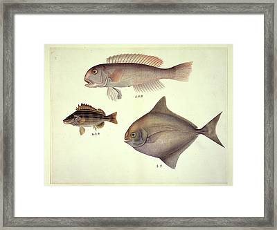 Plate 137: John Reeves Collection Framed Print by Natural History Museum, London