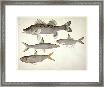Plate 139: John Reeves Collection Framed Print by Natural History Museum, London