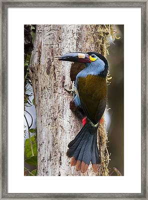 Plate-billed Mountain-toucan At Nest Framed Print by Tui De Roy