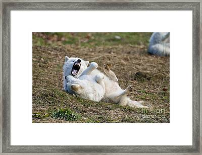 Framed Print featuring the photograph Playful Arctic Wolves by Wolves Only