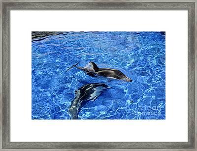 Playful Dolphins Framed Print by Brenda Kean