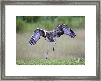 Playful Juvenile Sandhill Crane Framed Print