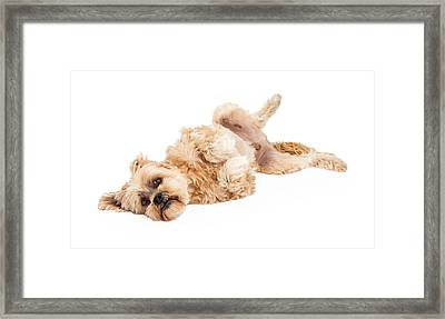 Playful Maltese And Poodle Mix Dog Laying Framed Print by Susan Schmitz