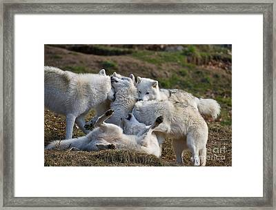 Framed Print featuring the photograph Playful Pack by Wolves Only