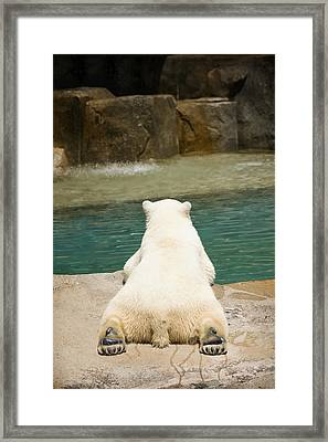 Playful Polar Bear Framed Print by Adam Romanowicz