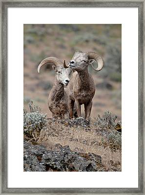 Playfull Rams Framed Print by Athena Mckinzie