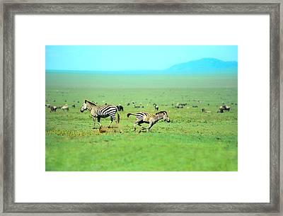 Playfull Zebras Framed Print by Sebastian Musial